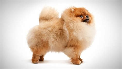 kinds of pomeranian dogs pomeranian breed selector animal planet