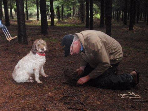 truffle dogs local dogs earn their keep sniffing out truffles nw news network