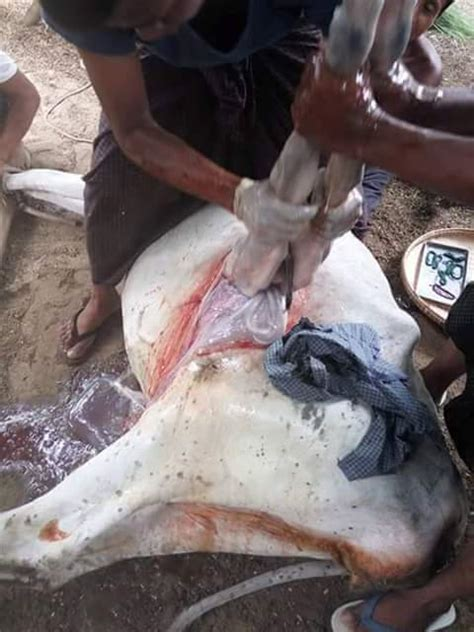 how is c section performed a c section being performed on a cow pets nigeria
