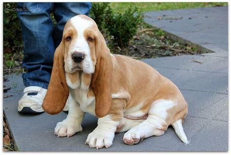 lemon basset hound puppies lemon basset beautiful basset hound bloodhound i am puppys and the