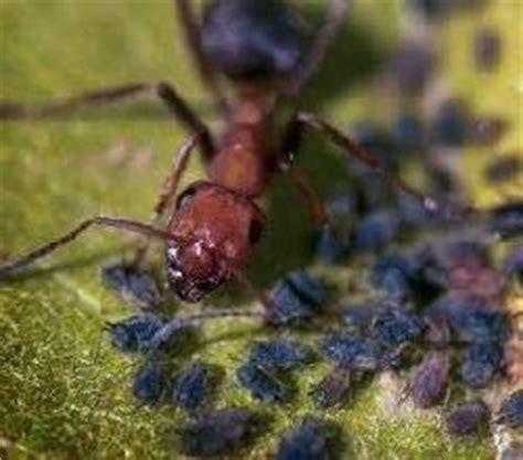 formiche in casa cosa fare yucca con formiche domande e risposte piante appartamento