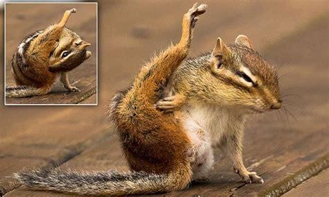 chipmunk puts   leg   ear daily mail