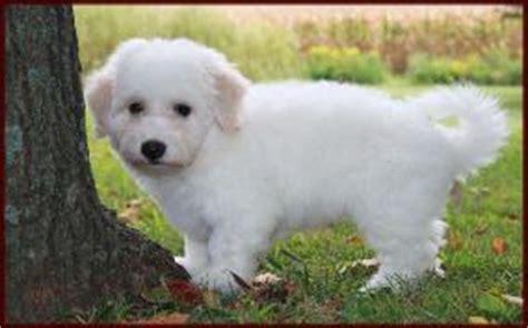 bichon frise puppies for sale in michigan akc bichon bichon frise for sale design breeds picture