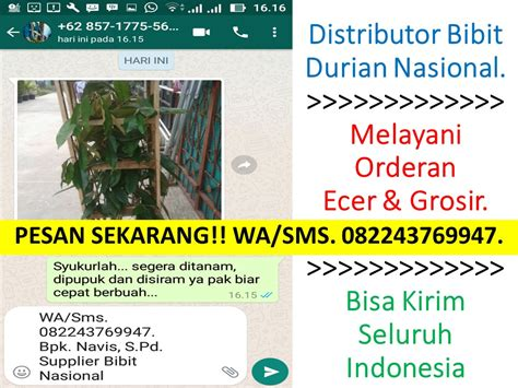 Durian Musang King 3 Kaki Bawor 100cm wa sms 0822 4376 9947 jual bibit durian musang king