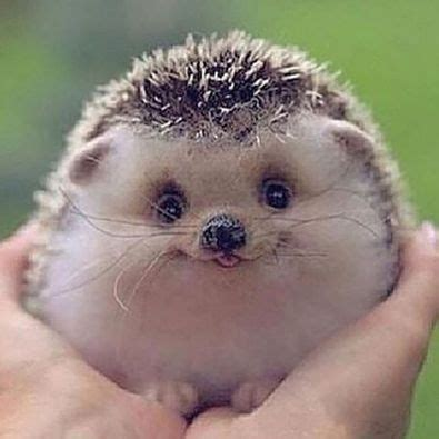 cute baby hedgehog smiling smiling hedgehog foto pinterest hedgehogs