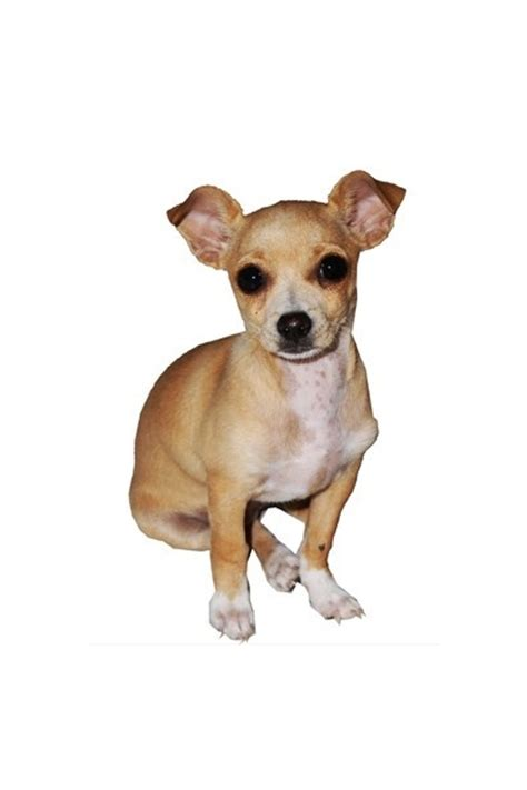 Autoaufkleber Hunderassen by Hunderassen Auto Aufkleber Chihuahua 1 Tierisch Tolle