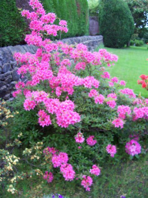 all year flowering shrubs tips for flowering shrubs in your border gardeners tips