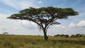 paradoxuganda acacia s sweet 16