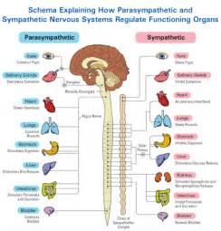 the autonomic nervous system divide