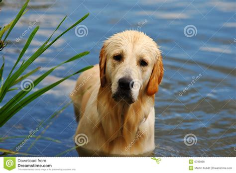 golden retriever in water golden retriever in water royalty free stock image image 6795966