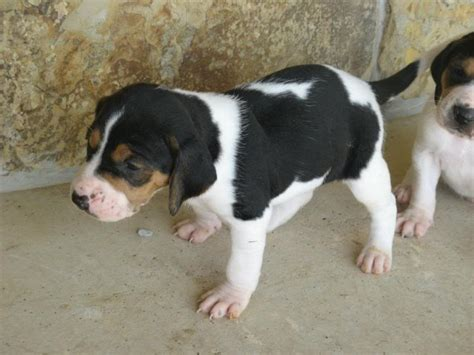 walker hound puppies treeing walker coonhound puppy about 8 weeks breeds picture
