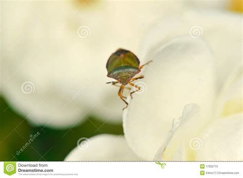 white bed bugs bed bug stock photos image 17022713
