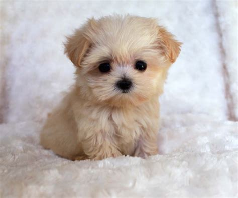 teacup size puppies dog breeds picture