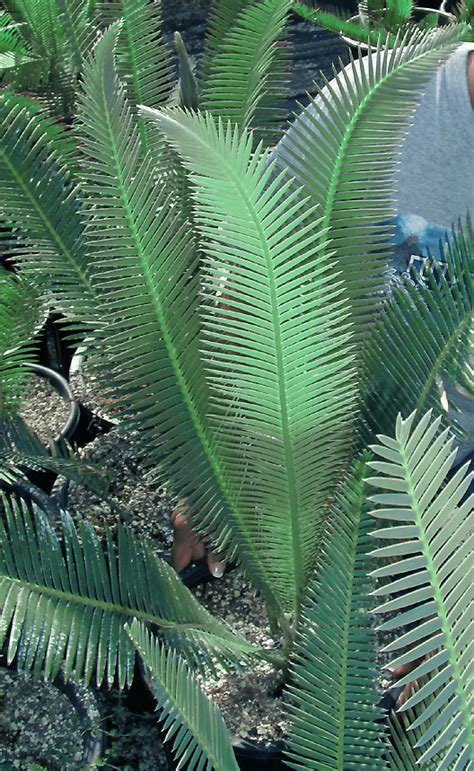 dioon edule var queretaro blue dioon species