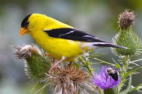 the gallery for gt yellow finch in flight