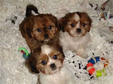 shih tzu cavalier king charles spaniel mix cava tzu cavalier king charles spaniel shih tzu mix temperament puppies pictures