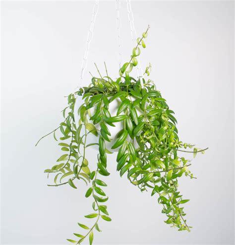 indoor plants nz columnea arguta in white hanging planter plant and pot nz