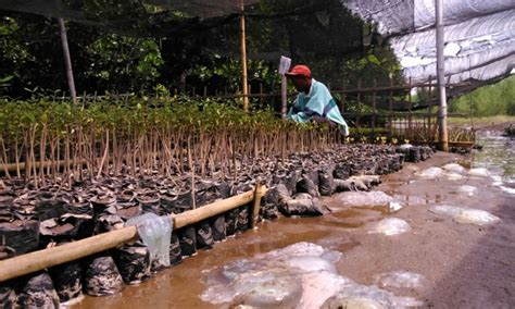 Bibit Sapi Di Jatim migrasi ubur ubur di jatim serang bibit bakau okezone news