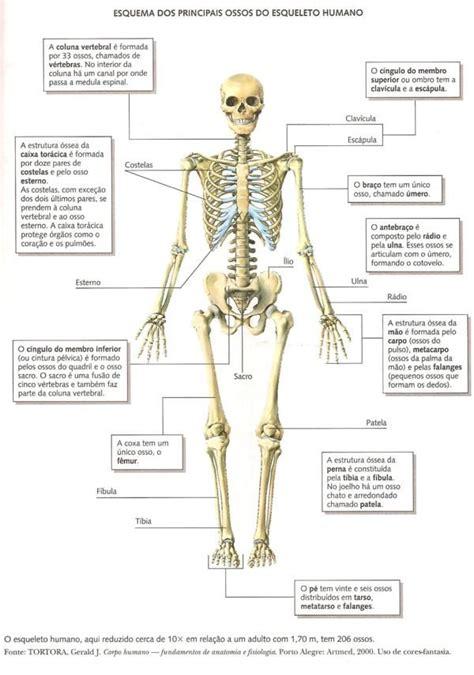 pelvis esqueleto humano frente cibertareas ossos do corpo humano anatomia pinterest ossos