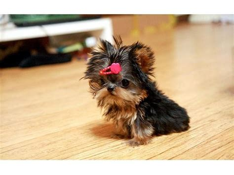 yorkie toys the 25 best ideas about yorkie on terrier teacup dogs