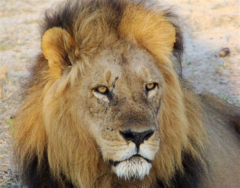 Find In Sa Rescued Lions Find Home In South Africa