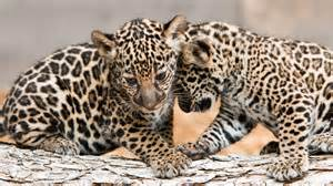 Jaguars Cubs Jaguar Cubs Estrella Make Debut At Fort Worth Zoo