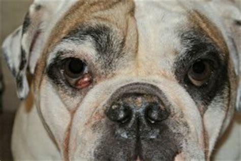 cherry eye pug cherry eye in small breed dogs