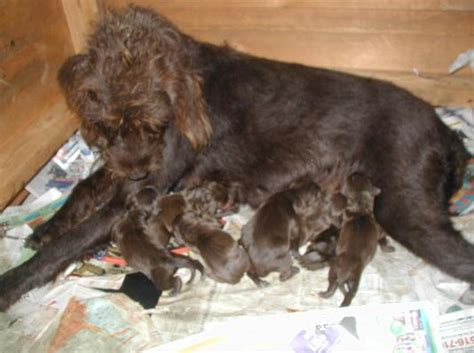 pudelpointer puppies pudelpointer puppies