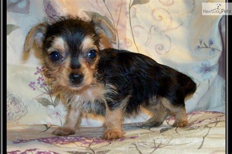 chorkie puppies grown chorkie dogs hairstylegalleries