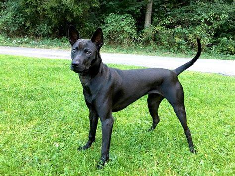 Tha 101 Black thai ridgeback info temperament and personality puppies