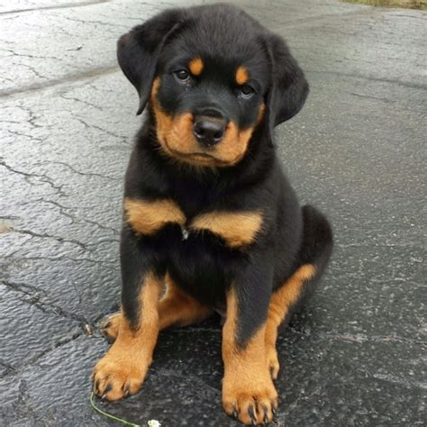 free puppies mn rottweiler puppies for free in mn 4k wallpapers