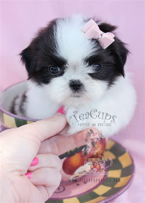 shih tzu white for sale miniature schnauzer puppies for sale teacups puppies boutique
