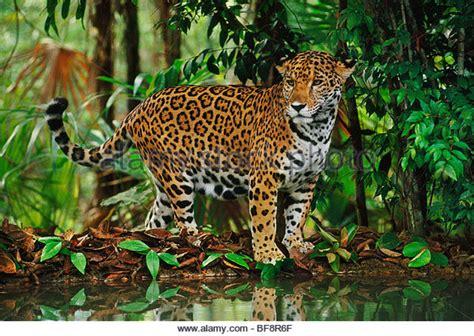 jaguar belize onca stock photos onca stock images alamy