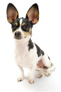 Types Of Small Dogs With Hair by Types Of Small Dogs Image Gallery