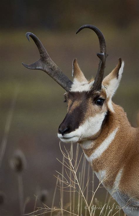 Horns And Antlers 93 best images about horns and antlers on