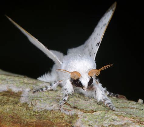 lifespan of a poodle moth panamanian poodle moth dari 233 n panama flickr