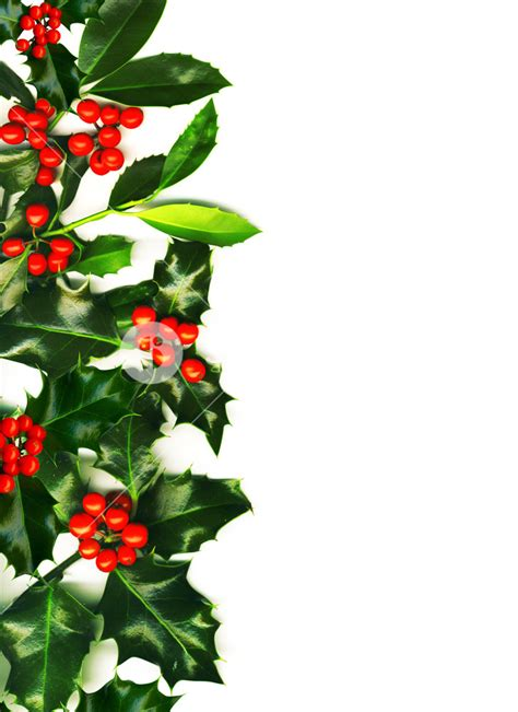 christmas border   holly  red berries royalty