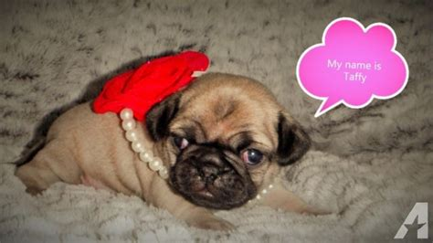 pugs for sale in michigan baby pugs for sale in chesaning michigan classified americanlisted