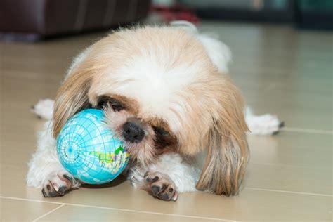 best toys for shih tzu puppies shih tzu mind interactive toys