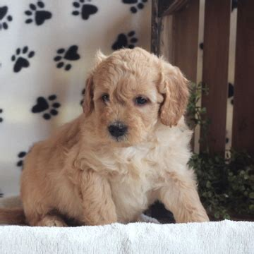 mini goldendoodle puppies for sale bc view ad goldendoodle poodle miniature mix puppy for