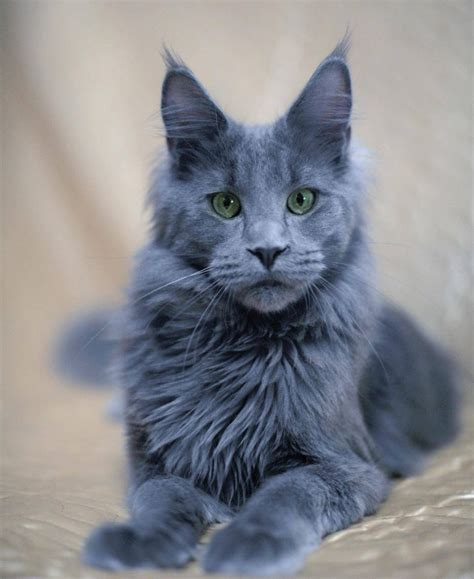 tabby cat colors list of 15 different colors of a maine coon cat maine