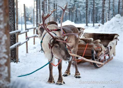 photo reindeer waiting for santa claus in lapland finland