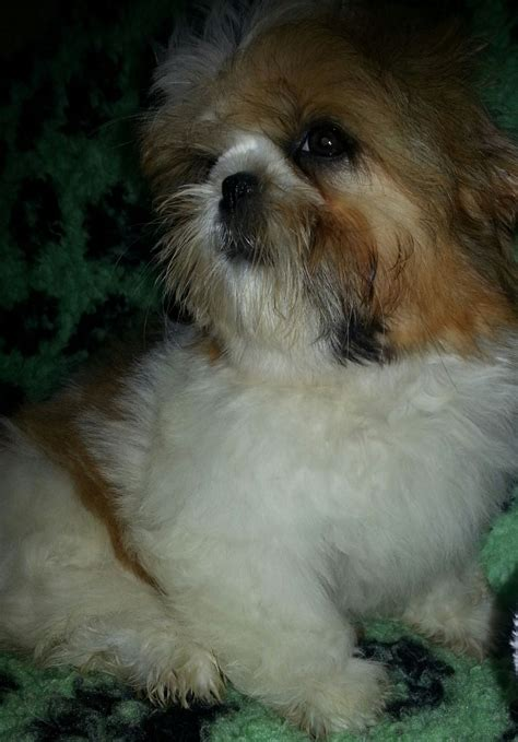 gold and white shih tzu k c reg gold and white lancing west sussex pets4homes