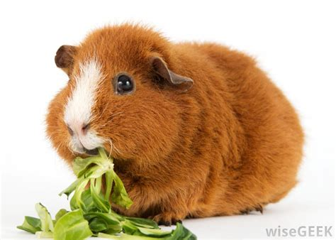 Are Guinea Pigs Pets With Pictures