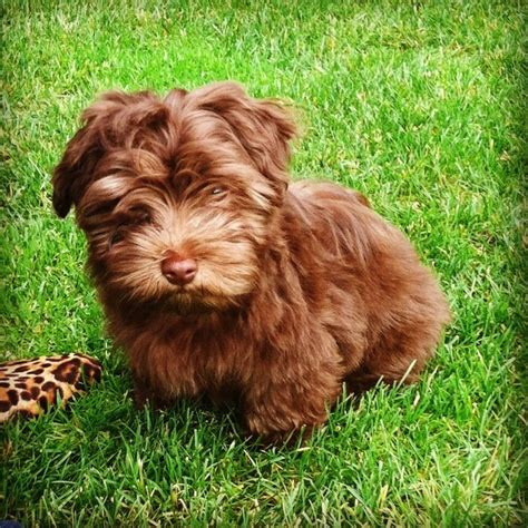 havanese and cats 8 best images about havanese on cutest dogs abyssinian cat and the breed