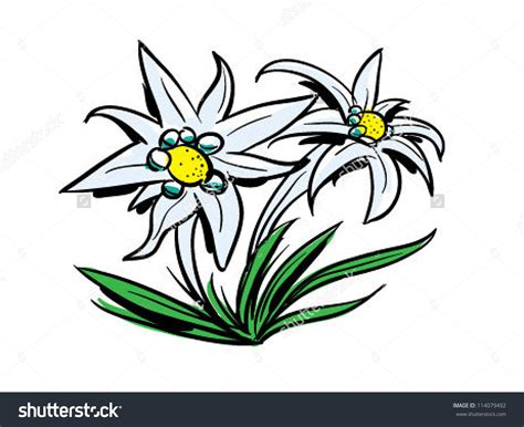 clipart vector edelweiss clipart clipground