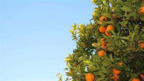 alberi da frutto in vaso piante da frutto in vaso pianta da frutto in vaso 3 anni