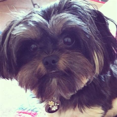 do yorkies get along with other dogs yorkie maltese mix puppy dixie breeds picture