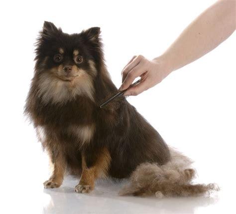 coated dogs grooming coated dogs grooming tutorial