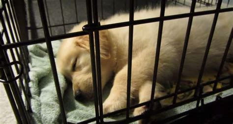 should puppy sleep in crate is crate cruel totally goldens